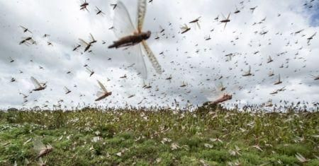 usaid-disburses-8mln-to-fight-locust-invasion-in-east-africa