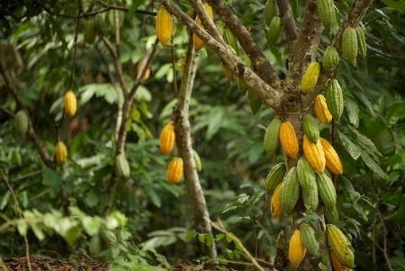 cote-d-ivoire-sees-1-7-million-tons-of-cocoa-for-2019-20-main-season