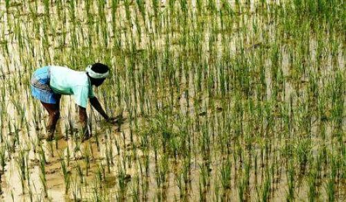 India injects $30 mln into rice production in Sierra Leone