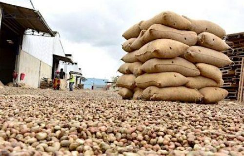Côte d'Ivoire sold its entire cashew production during the 2019 campaign (GIE-GEPPA)